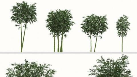 Set of Phyllostachys aurea Plants (Fishpole bamboo) (6 Plants)