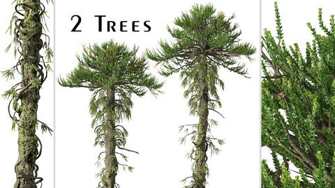 Set of Araucaria araucana Tree (Chilean pine) (2 Trees)