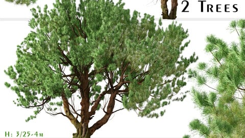 Set of Knobcone pine Tree (Pinus attenuata) (2 Trees) (3DsMAX-Blender-Cinema4D-FBX-OBJ)