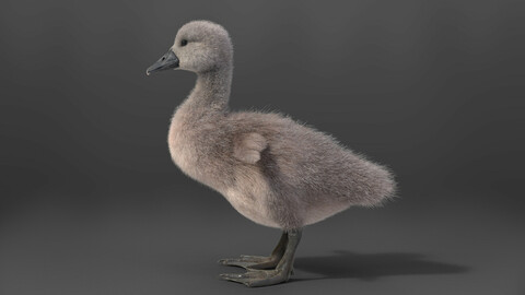3D Animal | Young Mute Swan | VFX Grace