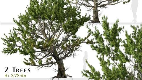Set of Limber pine Tree ( Pinus flexilis ) (2 Trees) ( 3Ds MAX – Blender - Cinema4D – FBX – OBJ )