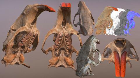 Nutria's skull