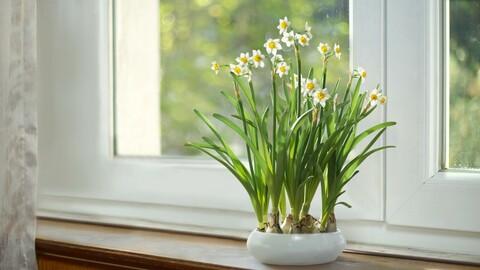 3D Plant | Daffodil | VFX Grace