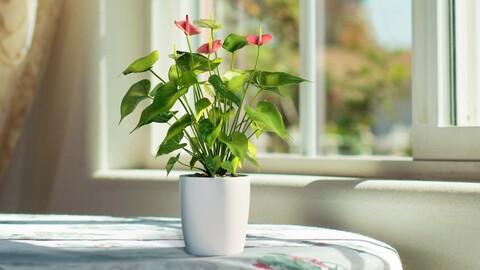 3D Plant | Anthurium | VFX Grace