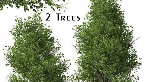 Set of Pyrus calleryana Trees (Callery pear) (2 Trees) ( 3Ds MAX - Blender - Unreal Engine - Cinema4D - FBX - OBJ )