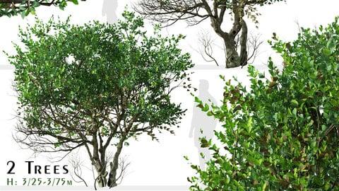 Set of Ligustrum Tree ( Glossy Privet ) (2 Trees) ( 3Ds MAX - Blender - Unreal Engine - Cinema4D - FBX - OBJ )