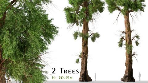 Set of Giant sequoia Tree (Sequoiadendron Giganteum) (2 Trees) ( 3Ds MAX - Blender - Unreal Engine - Cinema4D - FBX - OBJ )