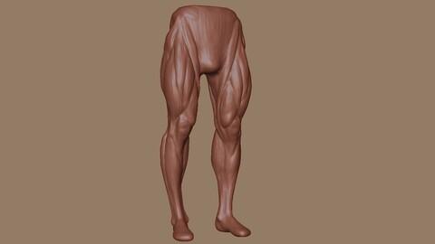 Male legs anatomy