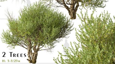 Set of Olive Tree ( European olive ) ( 2 Trees ) ( 3Ds MAX - Blender - Unreal Engine - Cinema4D - FBX - OBJ )