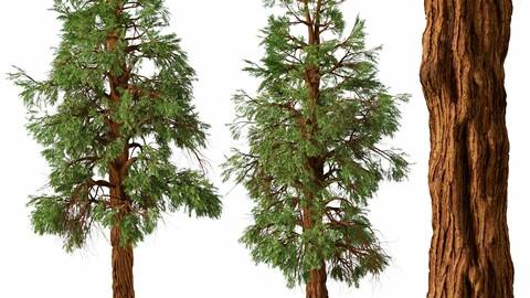 Set of Giant Redwood Tree ( Boxing Tree ) ( 2 Trees ) ( 3Ds MAX - Blender - Unreal Engine - Cinema4D - FBX - OBJ )