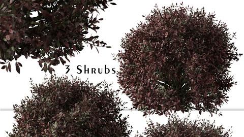 Set of Pittosporum Purpureum Shrubs ( Kohuhu Shrub ) (3 Plants) ( 3Ds MAX - Blender - Unreal Engine - Cinema4D - FBX - OBJ )