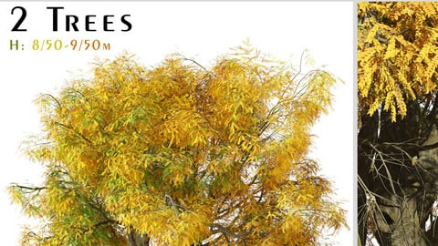 Set of Honey Locust Tree ( Gleditsia triacanthos ) ( 2 Trees ) ( 3Ds MAX - Blender - Unreal Engine - Cinema4D - FBX - OBJ )