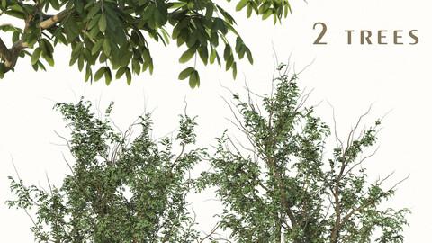 Set of Gleditsia Triacanthos Trees ( Thorny honeylocust ) (2 Trees) ( 3Ds MAX - Blender - Cinema4D - FBX - OBJ )