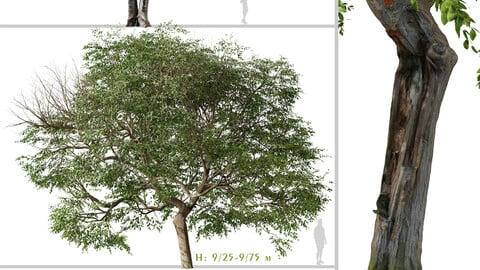 Set of Quercus ilex Tree ( Holly oak ) (2 Trees) ( 3Ds MAX - Blender - Unreal Engine - Cinema4D - FBX - OBJ )