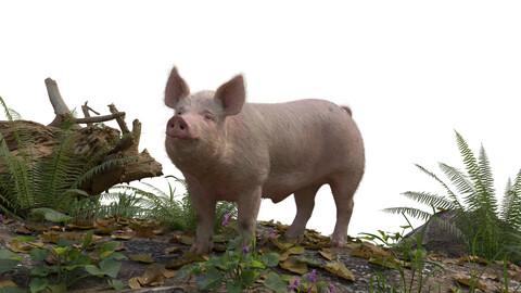 3D Animal | Male Pig Animatied | VFX Grace