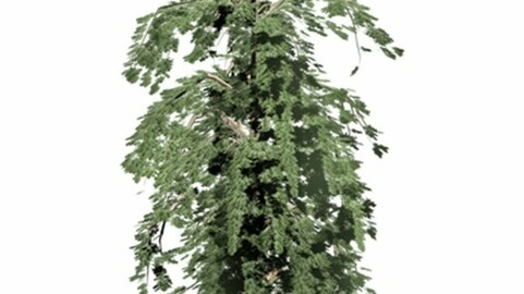 Resource-Plant Algerian fir