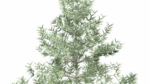 Resource-Plant Fir 1