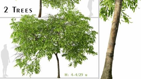 Set of Magnolia champaca Tree ( Champak ) (2 Trees) ( 3Ds MAX - Blender - Unreal Engine - Cinema4D - FBX - OBJ )