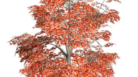 Resource-Plant Acer rubrum
