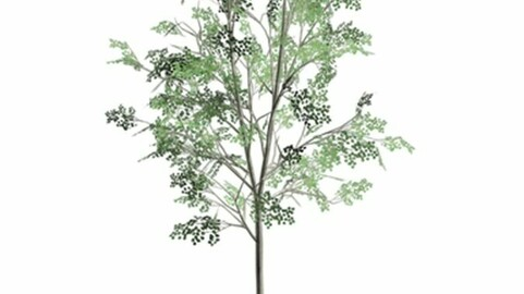 Resource-Plant Sycamore maple