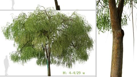 Set of Australian Willow Tree ( Geijera parviflora ) (2 Trees) ( 3Ds MAX - Blender - Unreal Engine - Cinema4D - FBX - OBJ )