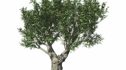 Resource-Plant Autumn olive