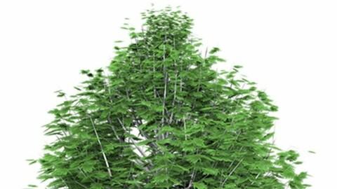Resource-Plant Napoleon Pine
