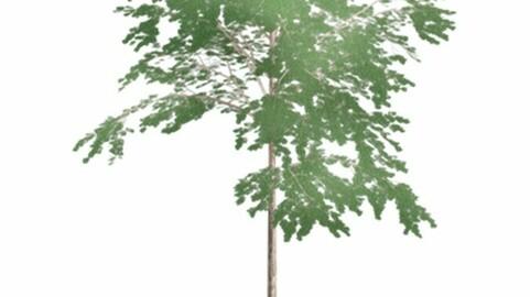Resource-Plant Chinese mahogany toon