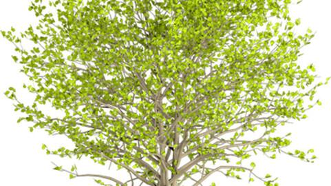 Resource-Plant Alnus glutinosa