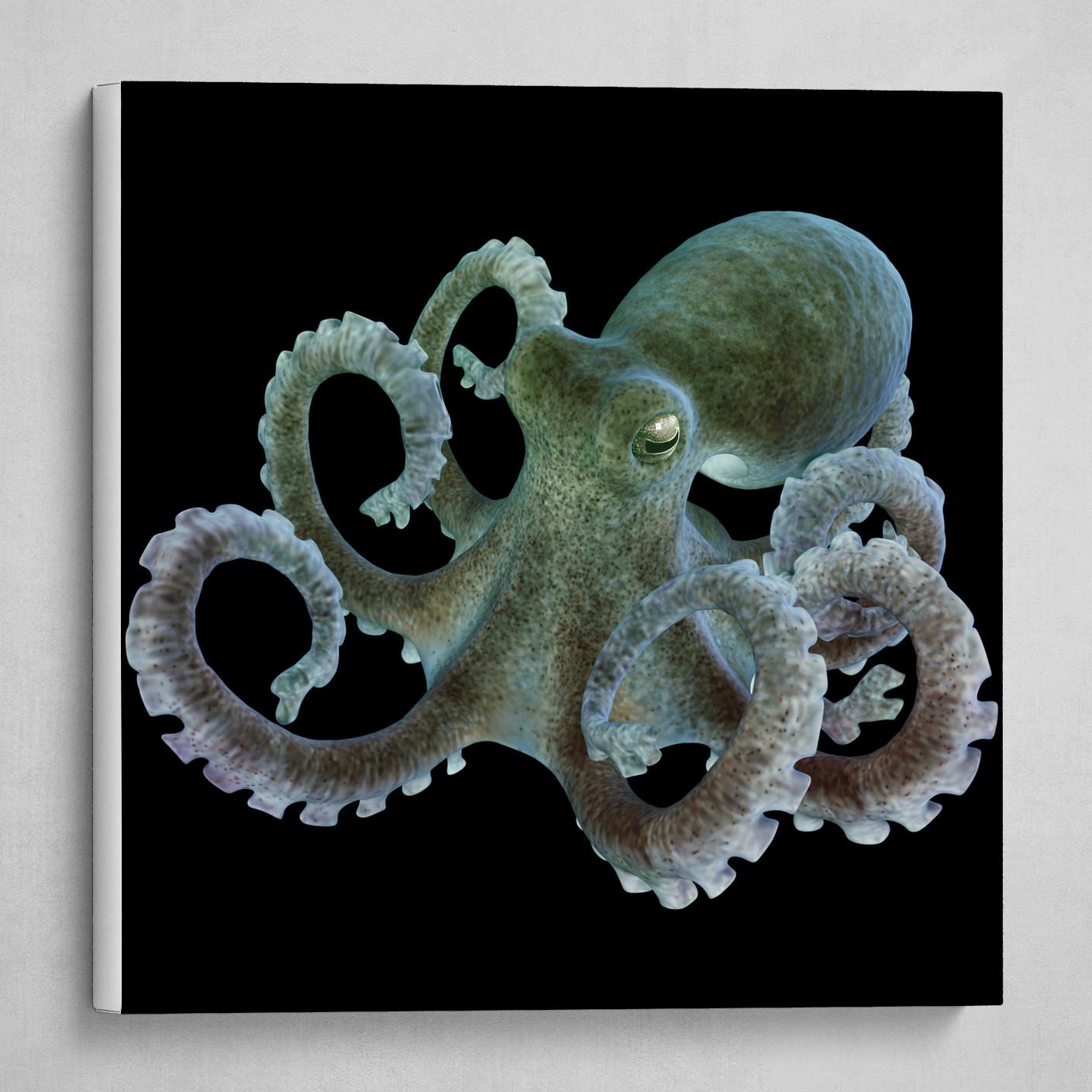 octopus Eledone cirrhosa. 3