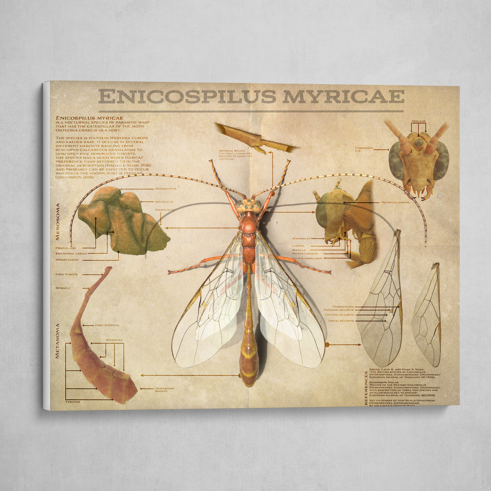 Enicospilus myricae. Old biology poster