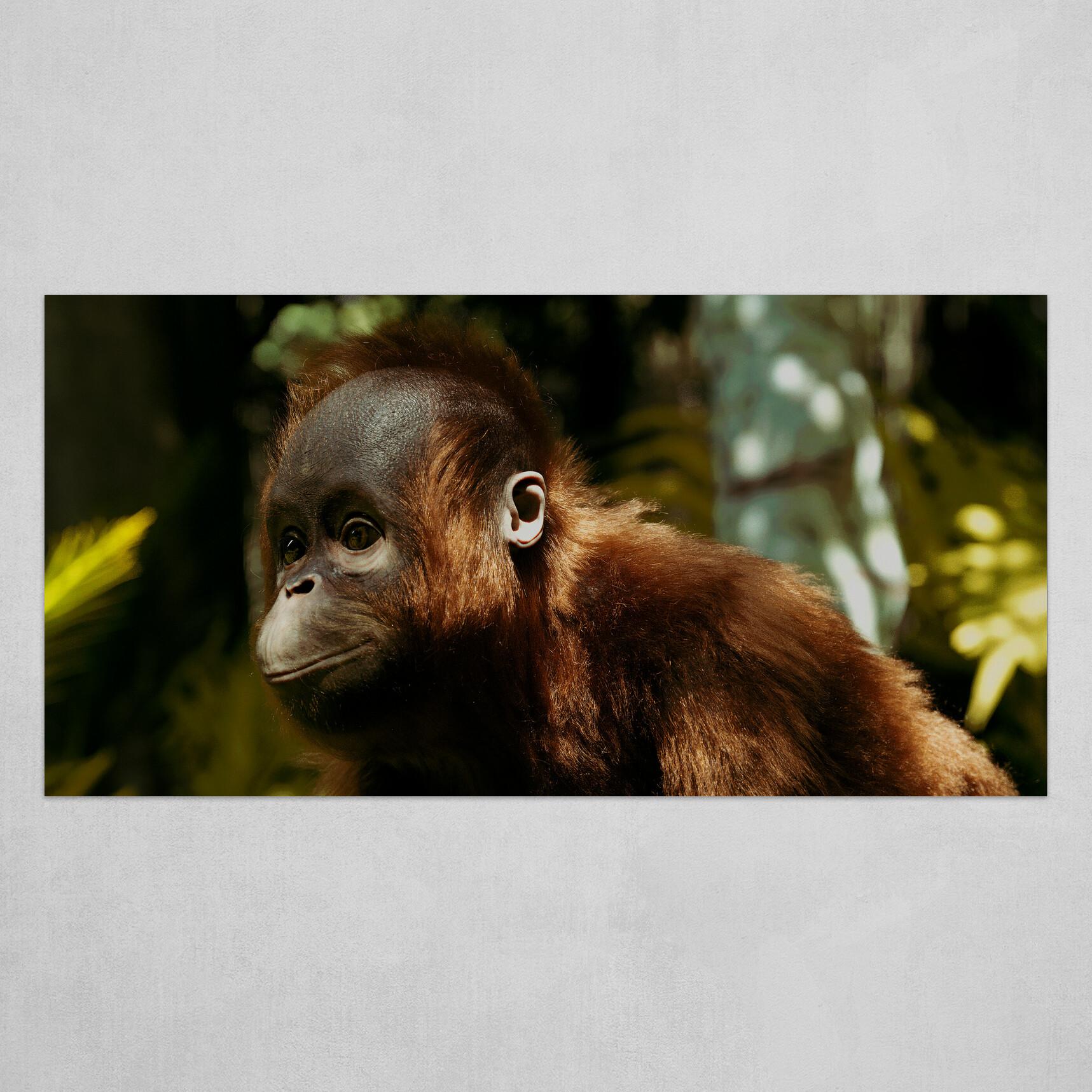 Boro- the Orangutan